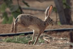 Cottontail rabbit in Jeddah, Saudi arabia stock photo
