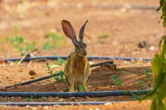 Cottontail rabbit in Jeddah, Saudi arabia royalty free stock image