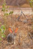 Cottontail rabbit in Jeddah, Saudi arabia royalty free stock photos