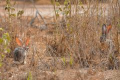 Cottontail rabbit in Jeddah, Saudi arabia royalty free stock photography