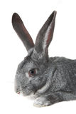 Rabbit Stock Photos