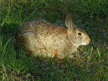 Rabbit. Cottontail rabbit sitting in a park Royalty Free Stock Photo