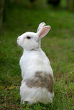 Rabbit. White with spots rabbit sitting and looking around royalty free stock photography