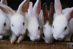 Rabbit. Picture of rabbits as pet, belongs to my elder brother's family Royalty Free Stock Images