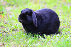 Rabbit. Black rabbit, bunny, on a green grass, picture taken outdoor Stock Photography