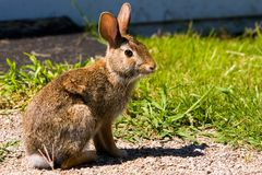 Rabbit. Sitting on gravel beside grass near a building Stock Images