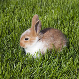 Rabbit. Little brown white rabbit sitting in a grass Stock Photo