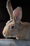 Rabbit. Brown rabbit in wooden hutch stock image
