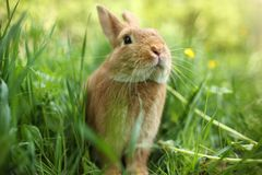 Rabbit. Portrait of rabbit in green grass Royalty Free Stock Photography