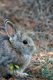 Rabbit. A rabbit in Rocky Mountain National Park Royalty Free Stock Photo