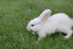 Rabbit. A white domestic rabbit in the grass Stock Images