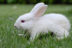 Rabbit. A white domestic rabbit in the grass Stock Photos