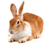 Rabbit. Cute domestic rabbit on white Royalty Free Stock Photography