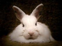 Rabbit. A portrait of a white pet rabbit Stock Images