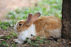 Free Rabbit Royalty Free Stock Photography - 16037087