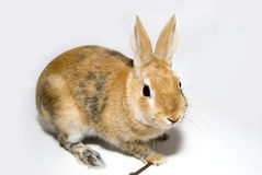 Rabbit. Decorative rabbit, furry friend of the family Stock Photo