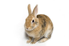 Rabbit. Decorative rabbit, furry friend of the family Royalty Free Stock Image