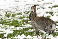 Rabbit. Running on the snowy grass Royalty Free Stock Image