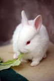 Rabbit. A white rabbit watching the camera and eating Stock Photos