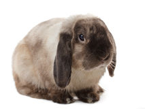 Rabbit. Stock Images