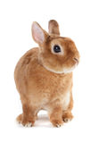 Rabbit. Royalty Free Stock Photo