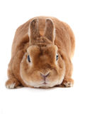 Rabbit. Royalty Free Stock Photography