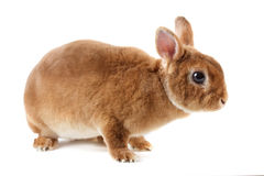 Rabbit. Royalty Free Stock Photos