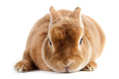Rabbit. Royalty Free Stock Images