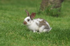 Rabbit. Little rabbit in the grass Royalty Free Stock Photo