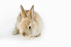 Rabbit. Cute adorable rabbit isolated on white background Royalty Free Stock Images