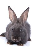 Rabbit. A rabbit, isolated on white stock images