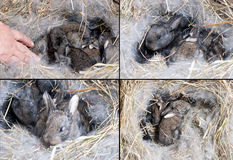 Rabbit. A nest of a rabbits Stock Images