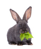 Rabbit. A rabbit,isolated on white Royalty Free Stock Photography