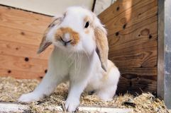 Rabbit 2 Royalty Free Stock Photography