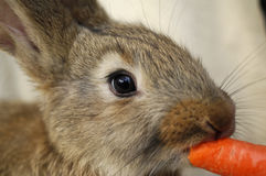 Rabbit. Young rabbit in brown color Stock Images