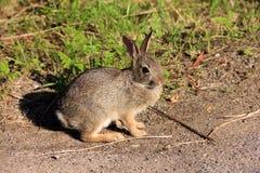 Rabbit Stock Photography