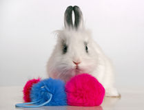 Rabbit. Little white rabbit to play with colored balls royalty free stock image