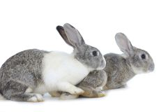 Rabbit. Two adorable rabbits isolated on white Royalty Free Stock Photography