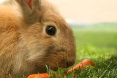 Rabbit. Looks attentively whilst eating a carrot stock image