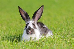 Rabbit. White - gray rabbit lying in a green meadow Stock Photo