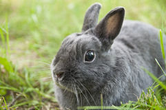 Rabbit. Photo of my puppy rabbit named lucky Stock Photography