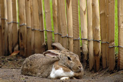 Rabbit. Long eared rabbit resting in sand Stock Images
