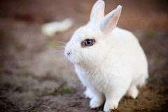 Rabbit. A beautiful white rabbit with blue eyes stock photos