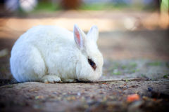 Rabbit. A beautiful white rabbit with blue eyes royalty free stock photos