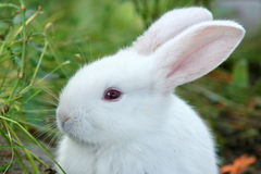 Rabbit. The head close-up of white rabbit Stock Photo