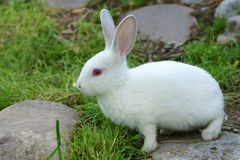 Rabbit. The close-up of white rabbit royalty free stock photo