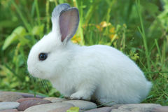 Rabbit. The close-up of white rabbit Royalty Free Stock Photos