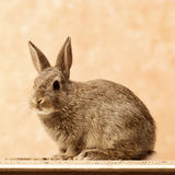 Rabbit. Brown rabbit sitting on the ground Royalty Free Stock Image