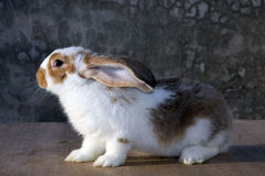 Rabbit. White Rabbit with brown spots royalty free stock image