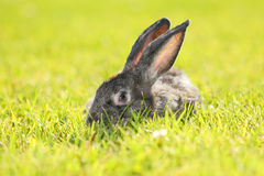 Rabbit Royalty Free Stock Photos